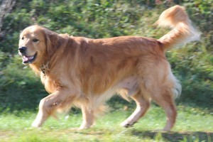 Jordi, our Golden Retriever